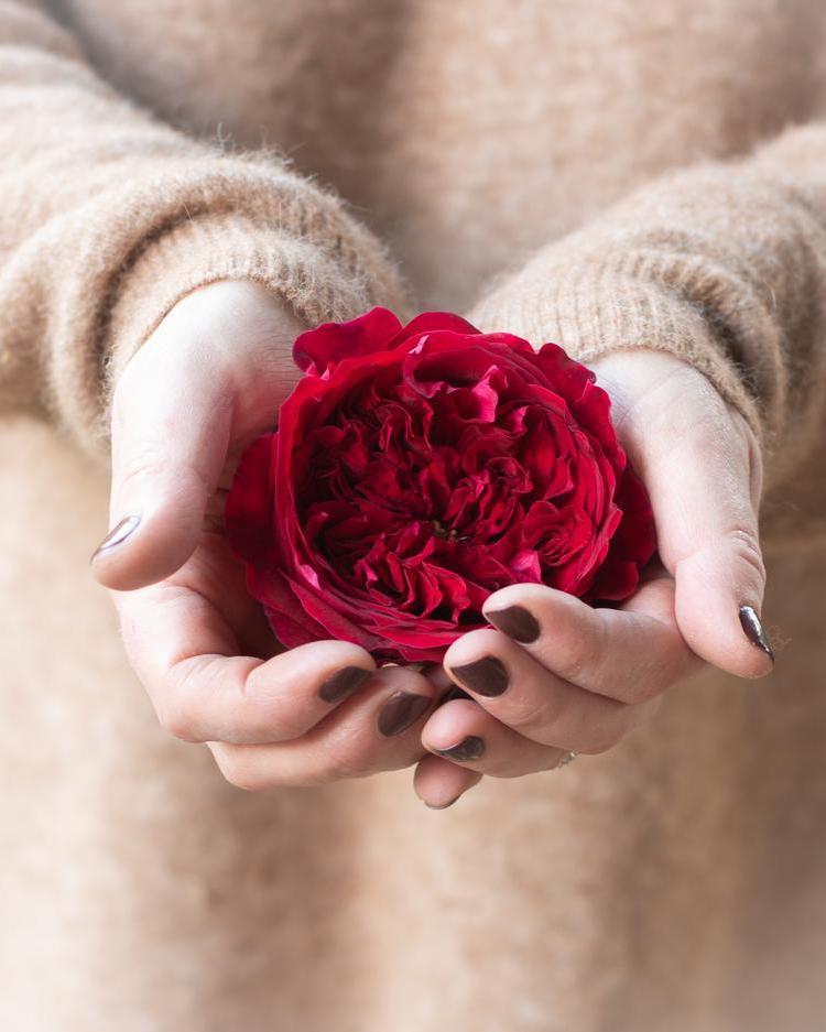 Tess Red Rose Single Bloom