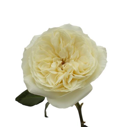Leonora Rose Open Bloom