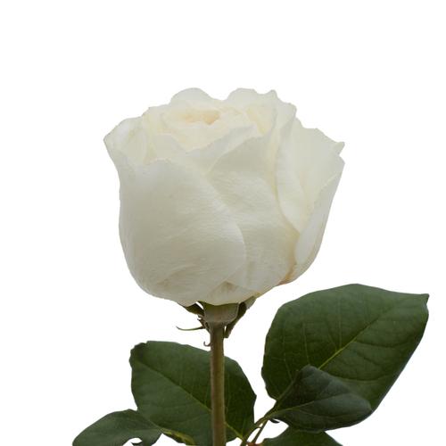Leonora Rose Closed Bud
