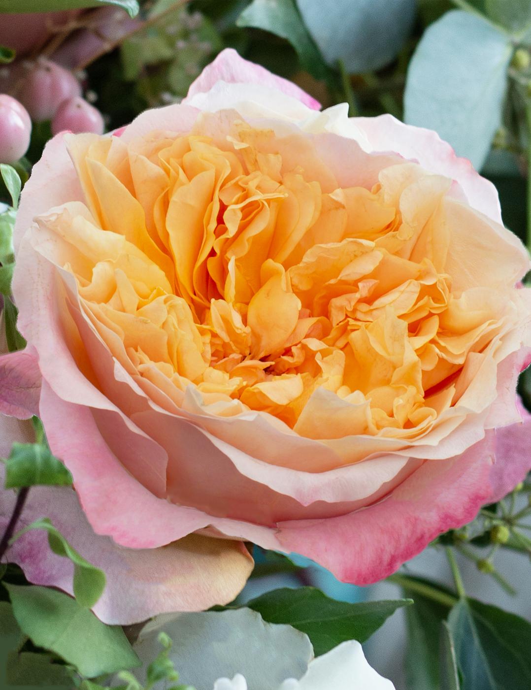 David Austin Edith Rose Open Bloom