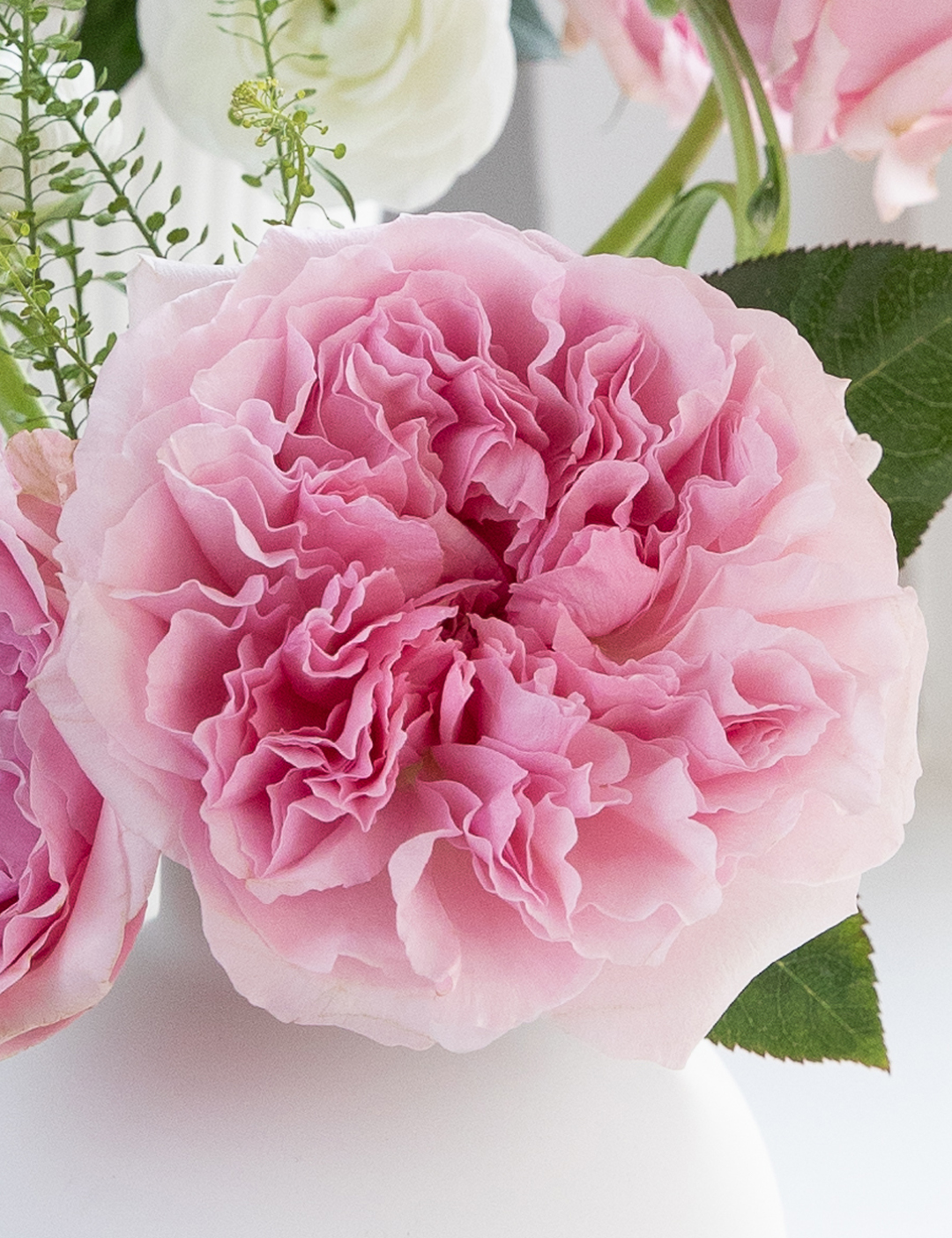 David Austin Miranda Rose Open Bloom