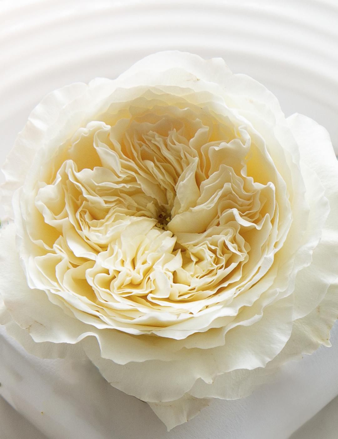 David Austin Patience Rose Open Bloom