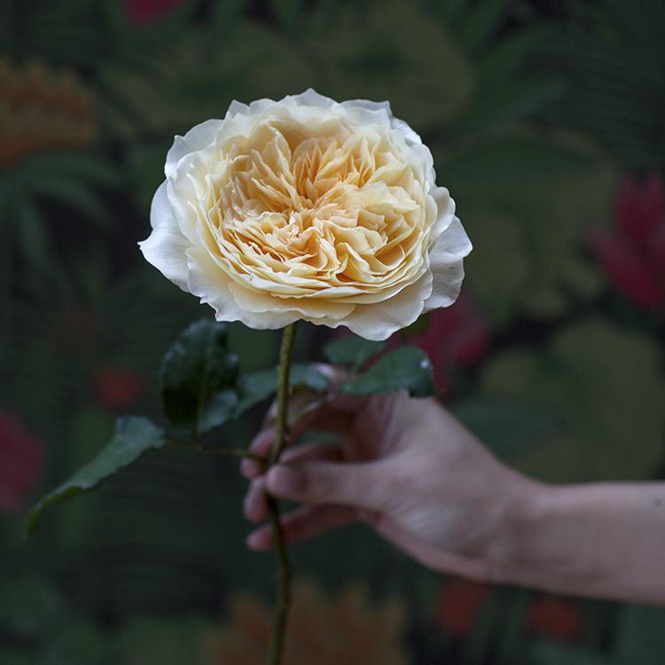 Effie David Austin Perfect Single Bloom in Brides Hand