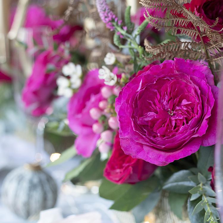 Hot pink roses David Austin bloom