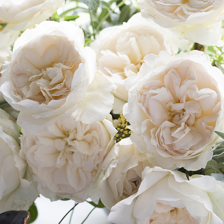 Purity roses close up bloom