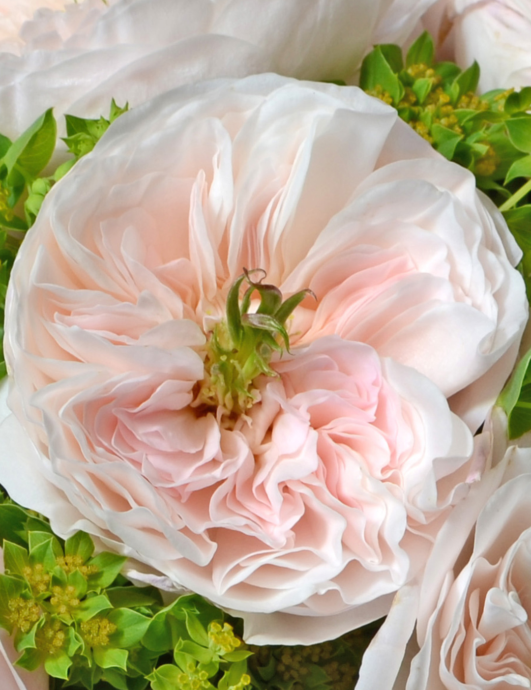 David Austin Charity Rose Open Bloom