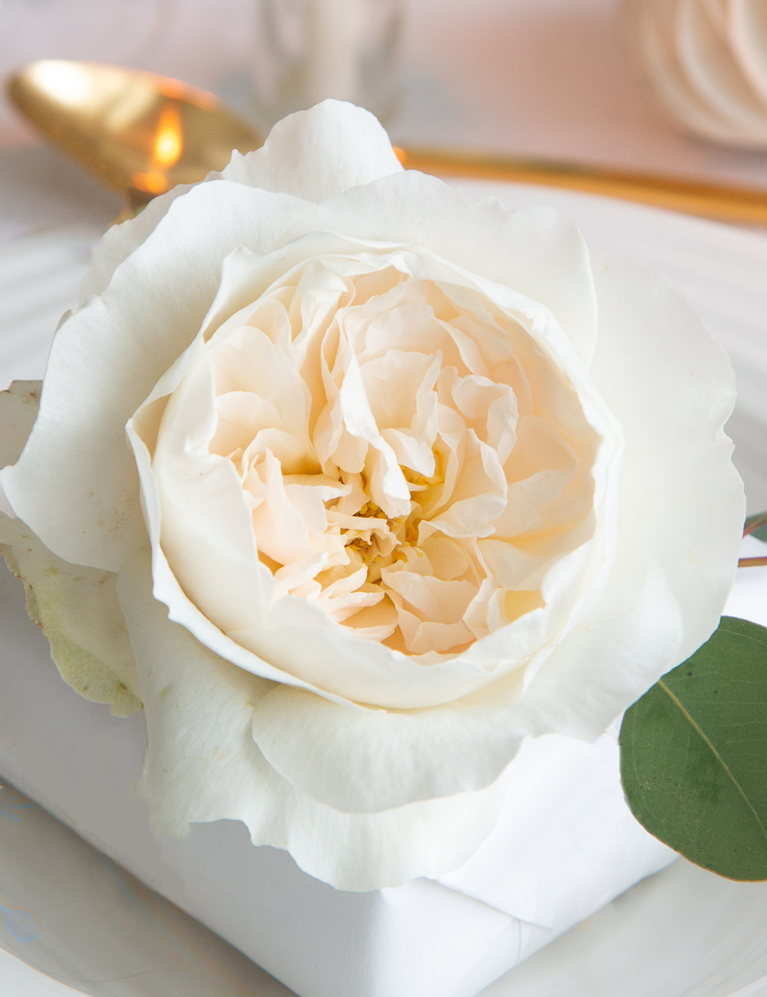 David Austin Purity Rose Offene Blüte