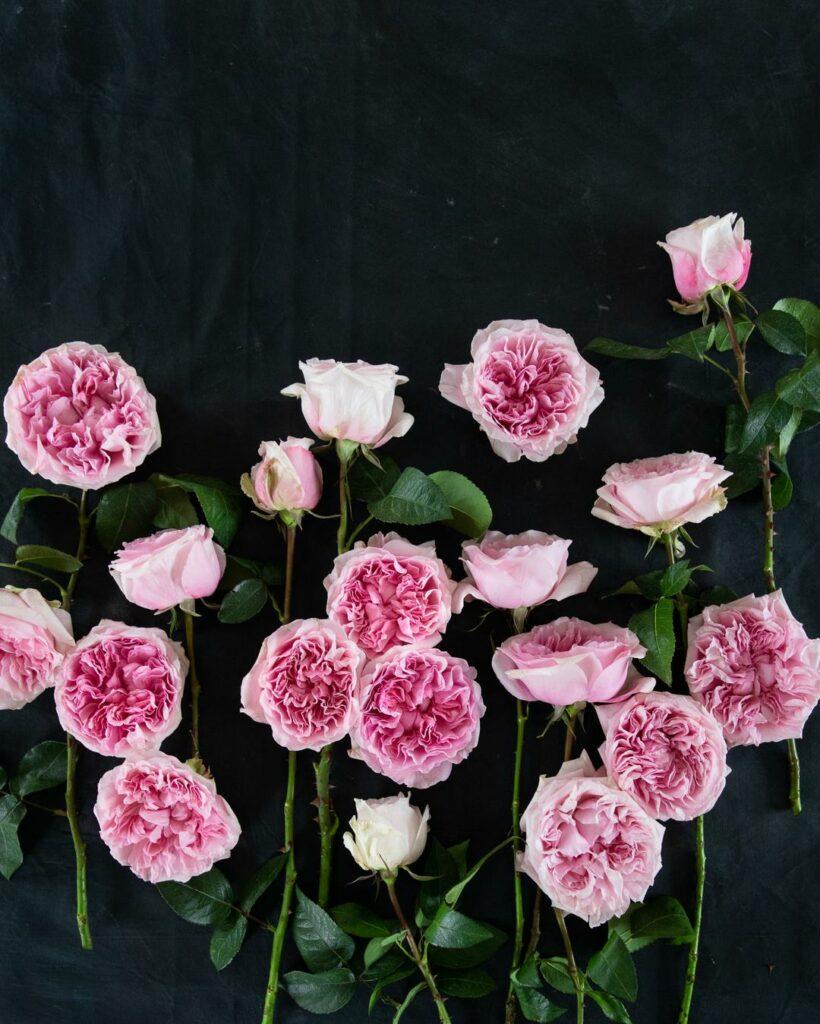Miranda Pink Roses Single Stems