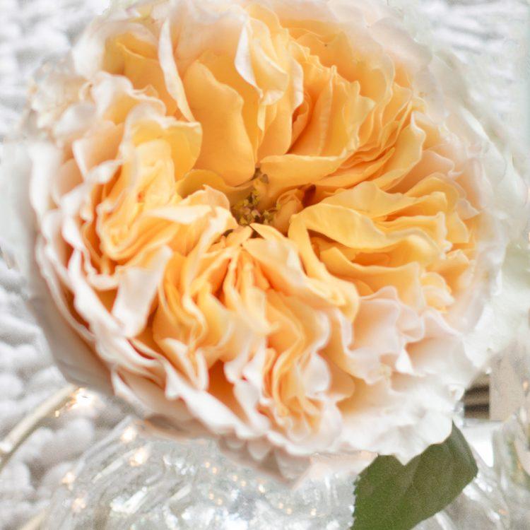 David Austin Beatrice Rose Open Bloom