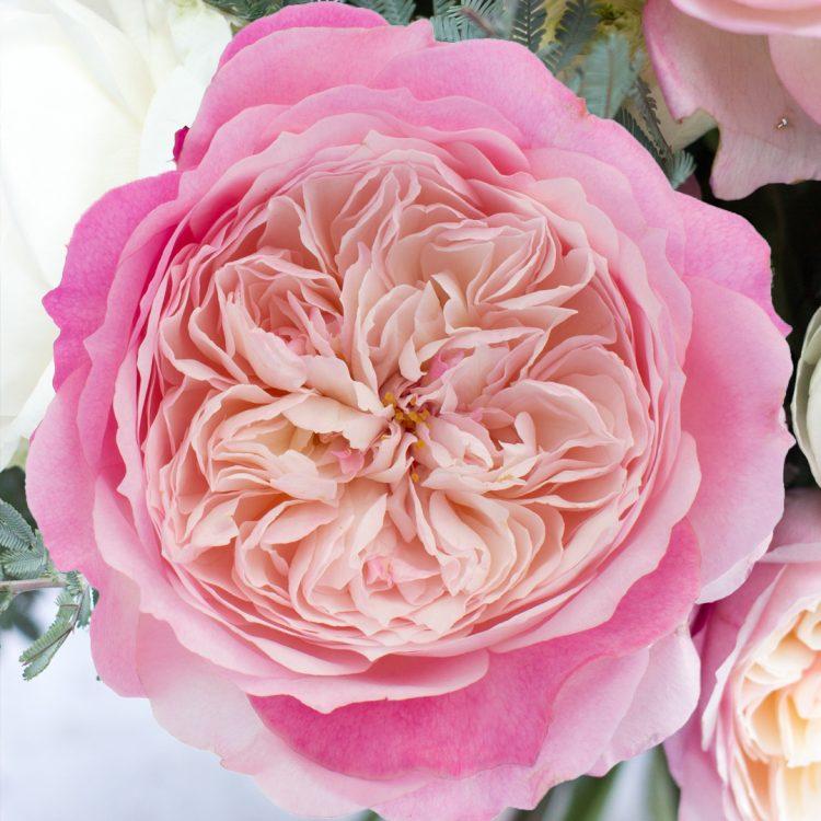 David Austin Constance Rose Open Bloom