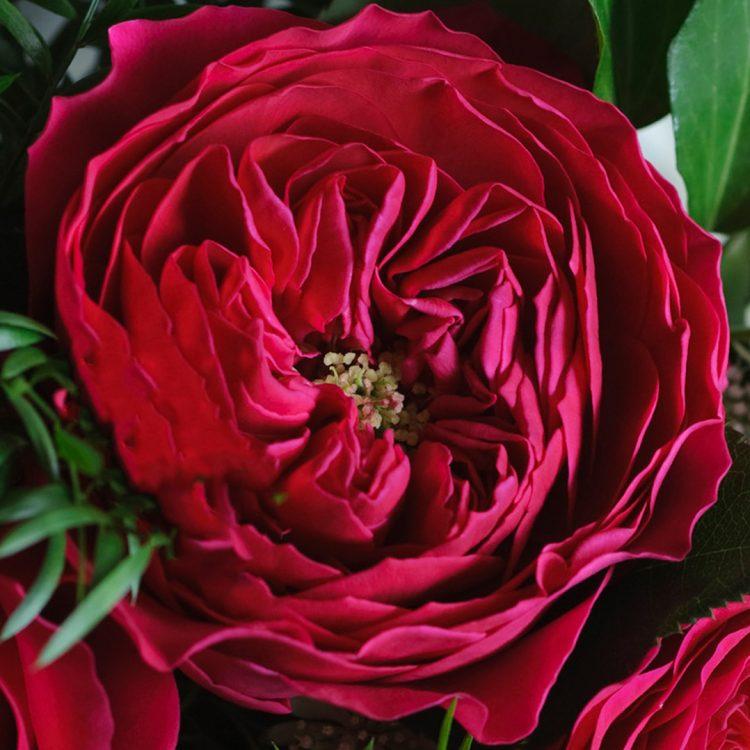 David Austin Darcey Rose Open Bloom