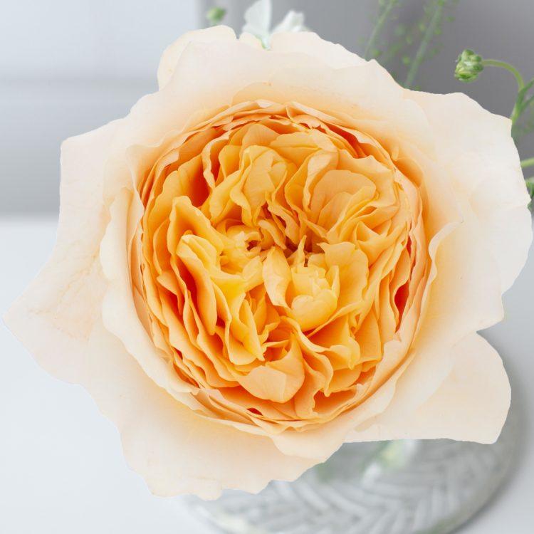 David Austin Effie Rose Open Bloom