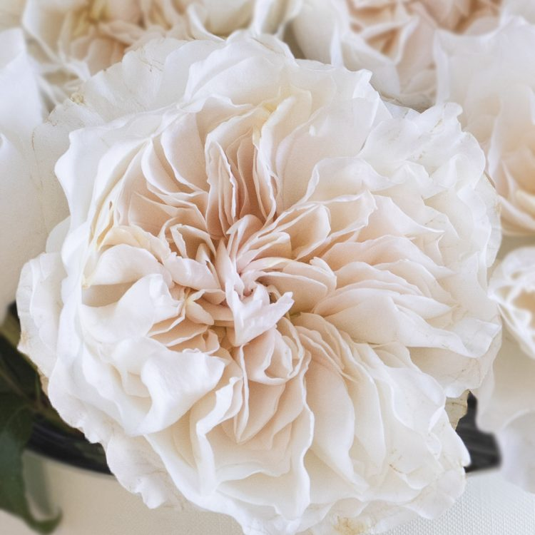 David Austin Eugenie Rose Open Bloom