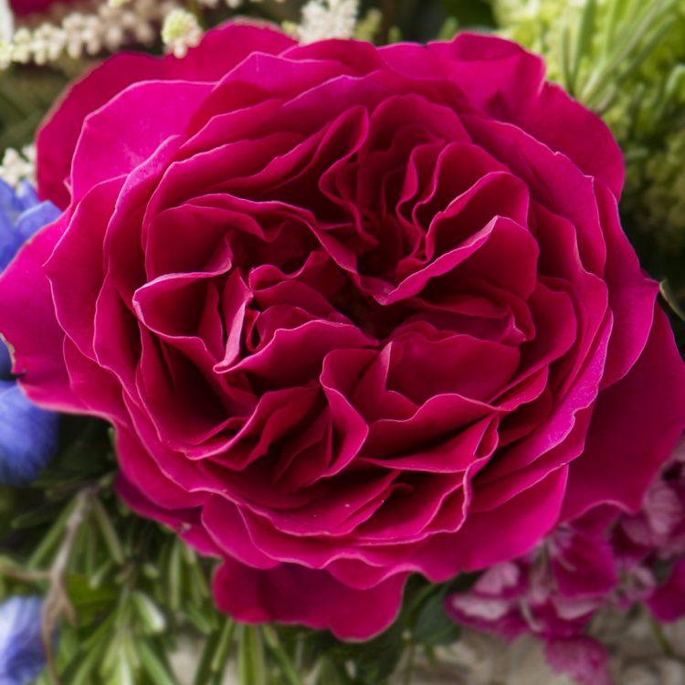David Austin Kate Rose Open Bloom