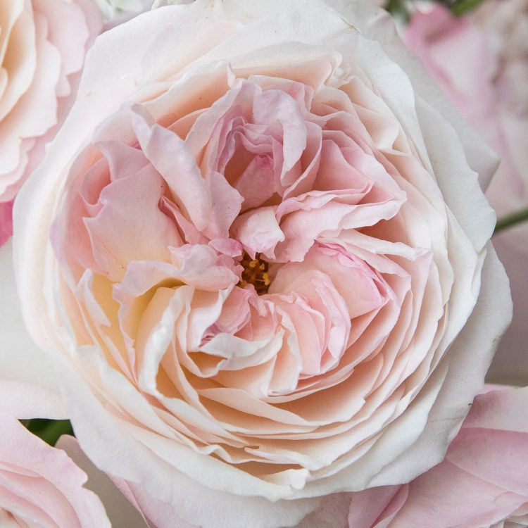 David Austin Kiera Rose Open Bloom