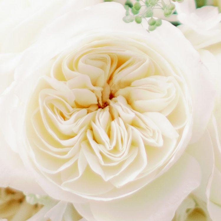 david-austin-leonora-rose-open-bloom-city