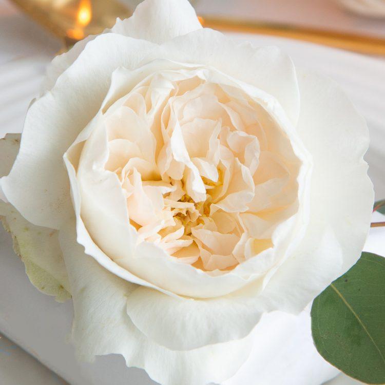 David Austin Purity Rose Open Bloom