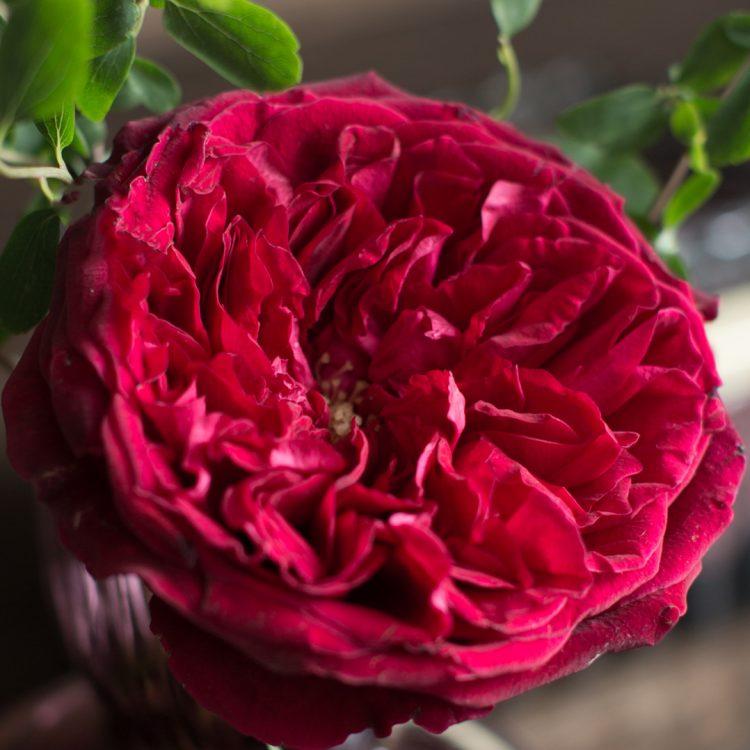 David Austin Tess Rose Open Bloom